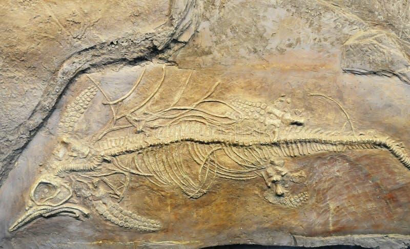 Fossile d'Ichthyosaur images libres de droits