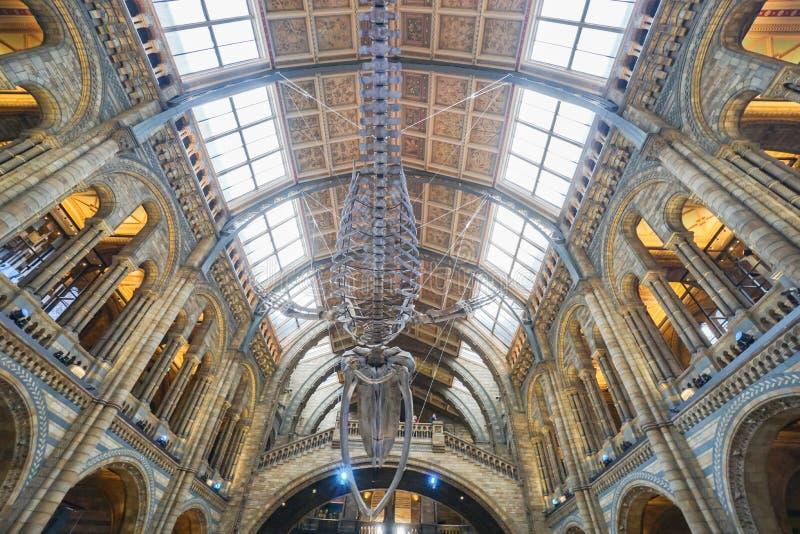 Fossile de dinosaure accrochant dans l'histoire nationale Londres rentrée par musée photos libres de droits