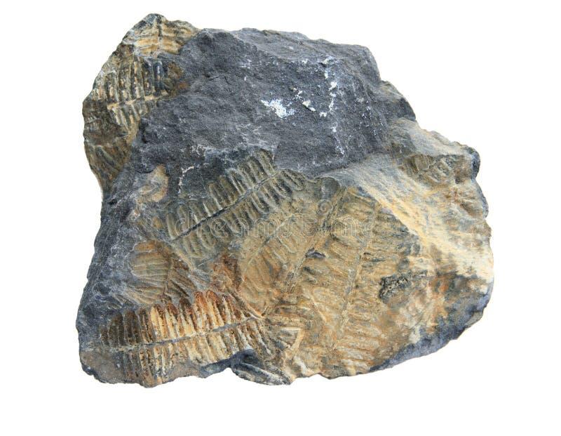 fossile de fougère images libres de droits