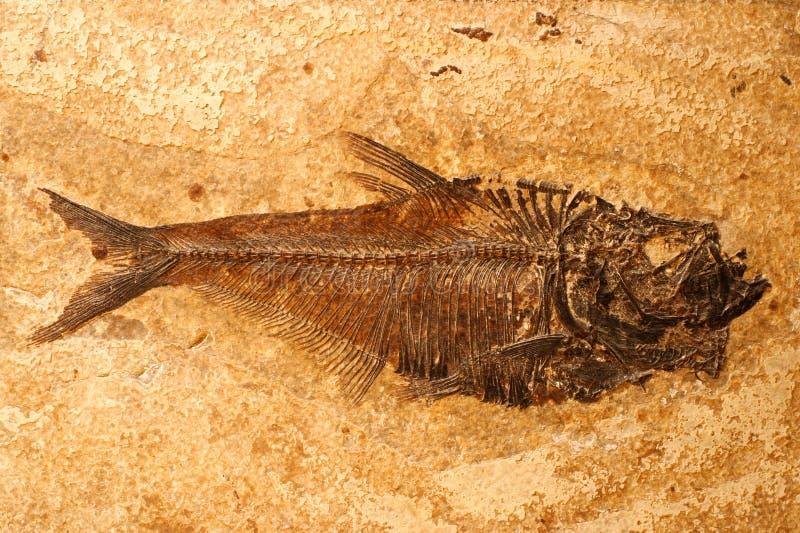 Fossile dei pesci immagine stock