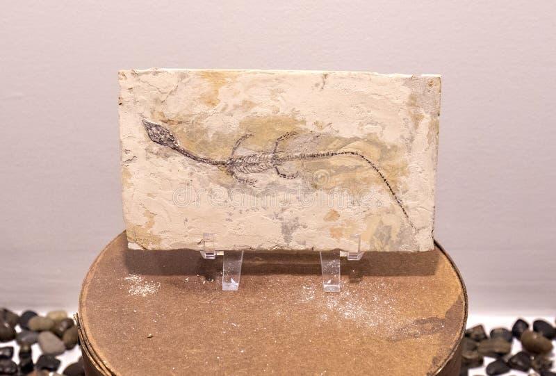 Fossile del rettile di Sinohydrosaurus fotografia stock