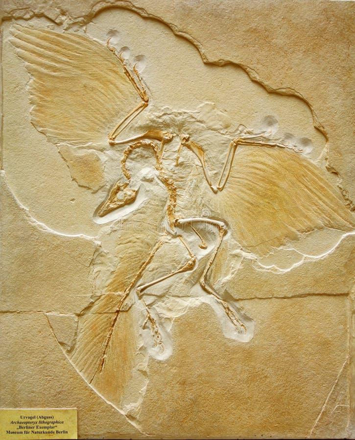 Fossile dell'archaeopteryx trovato in Germania immagine stock libera da diritti