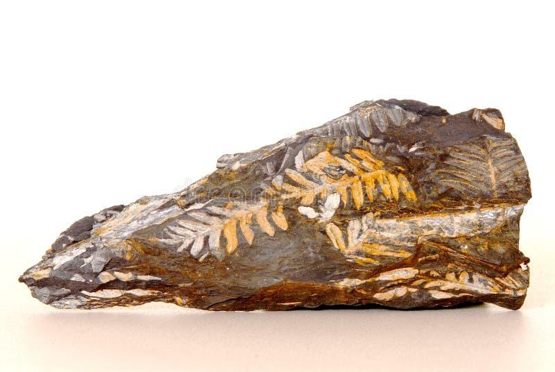 Fossile della felce fotografie stock