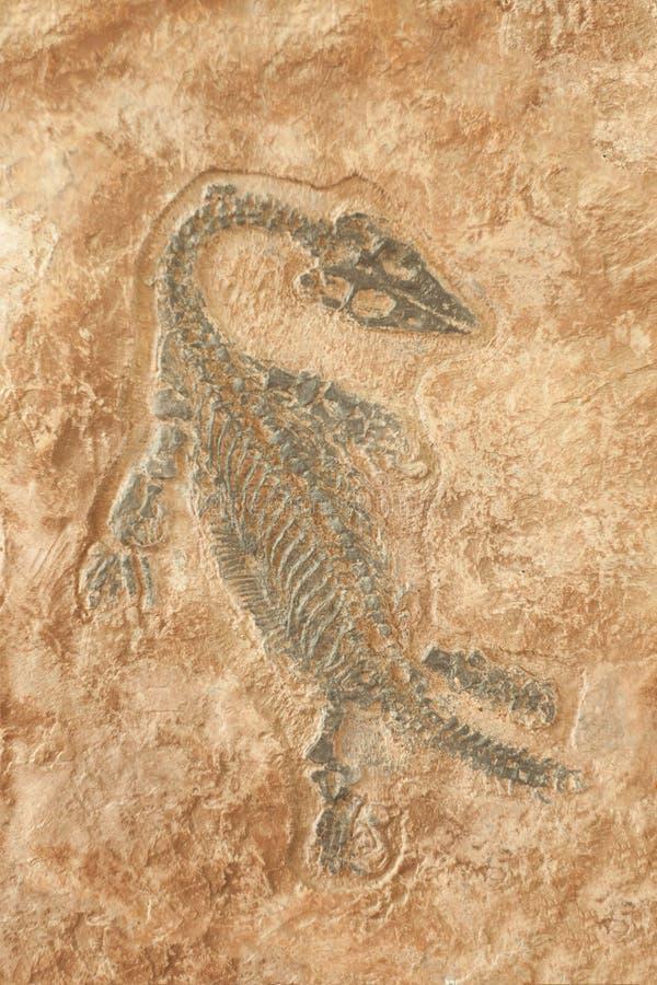 Fossile dello scheletro preistorico della lucertola sulla roccia fotografia stock libera da diritti