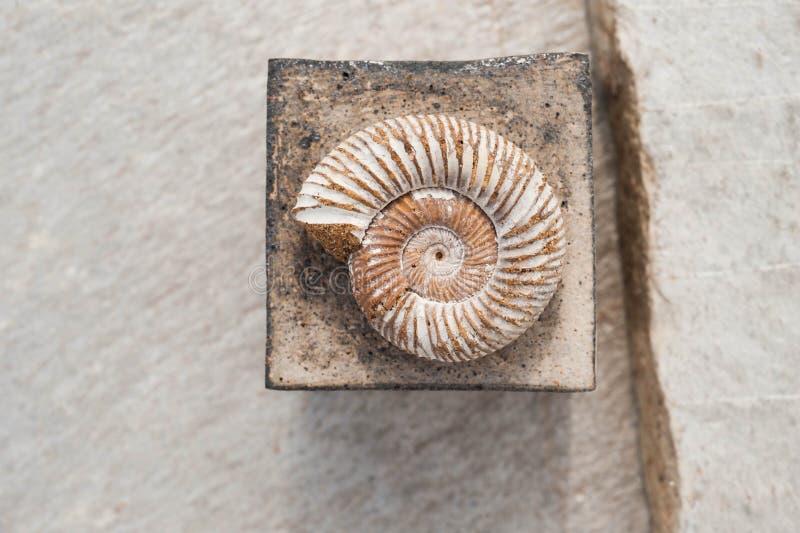 Fossile et place de Nautilus sur le fond en pierre photo stock