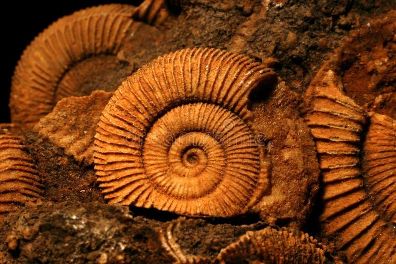 Fossili dell'ammonite fotografia stock