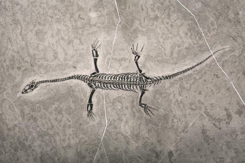 Fossili di dinosauro immagine stock libera da diritti