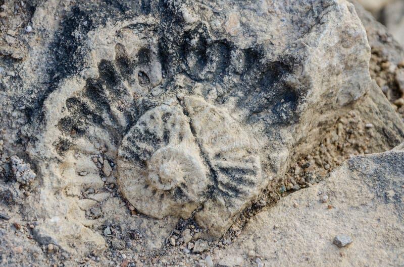 Fossiliserat skal av förhistoriska tider i byggnadskvarter av det portugisiska fortet, Lobito, Angola, sydliga Afrika royaltyfri bild