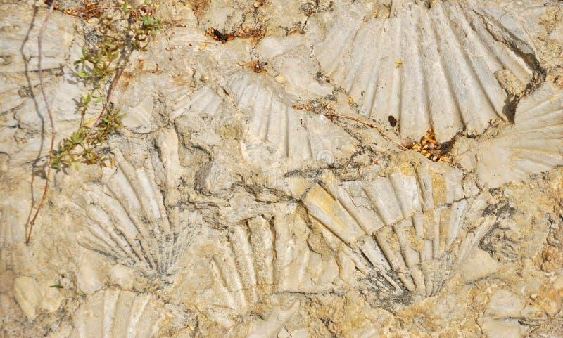 fossilized κοχύλι σφραγίδων στοκ φωτογραφίες με δικαίωμα ελεύθερης χρήσης