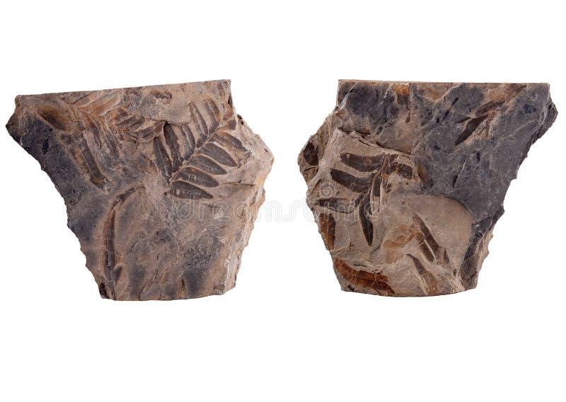 Fossilized φύλλο φτερών σπόρου στοκ φωτογραφίες με δικαίωμα ελεύθερης χρήσης