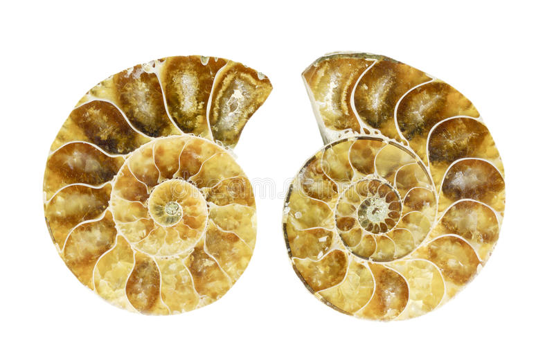 Fossilized ammonite stock image