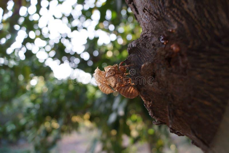 Fossilized Cicadas stock photos