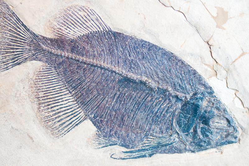 A fossilized imprint of a fish. A fossilized imprint of a fish embedded in sandstone showing a fin and tail royalty free stock photography