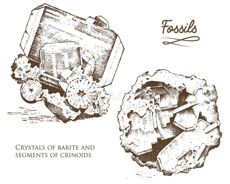Fossilized plants, stones and minerals, crystals, prehistoric animals, archeology or paleontology. fragment fossils vector illustration