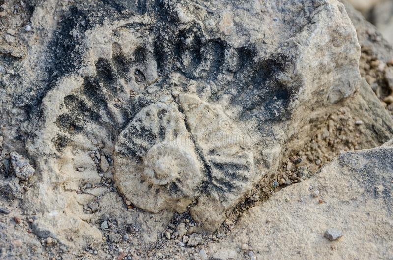 Fossilized shell of prehistoric times in building block of Portuguese fort, Lobito, Angola, Southern Africa.  royalty free stock image