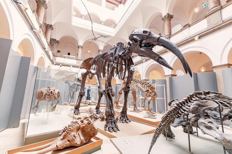 Fossilized skeletons of mammoth and other extinct animals on display at the Museum of natural. 07 August 2019, Munich, Germany: Fossilized skeletons of mammoth stock photo