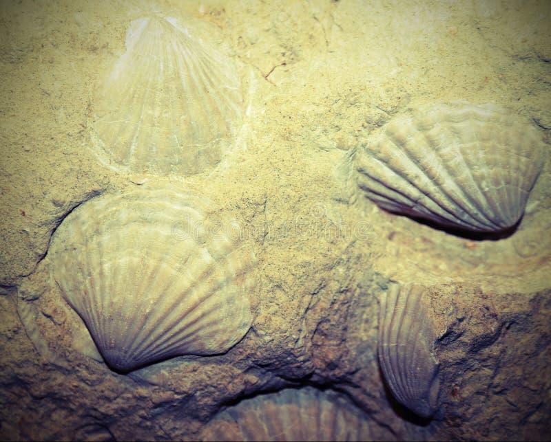 fossilized skorupy osadzać w skale zdjęcia royalty free