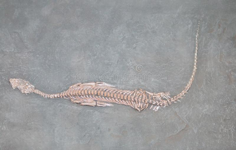A fossilized skull of a prehistoric animal royalty free stock photo