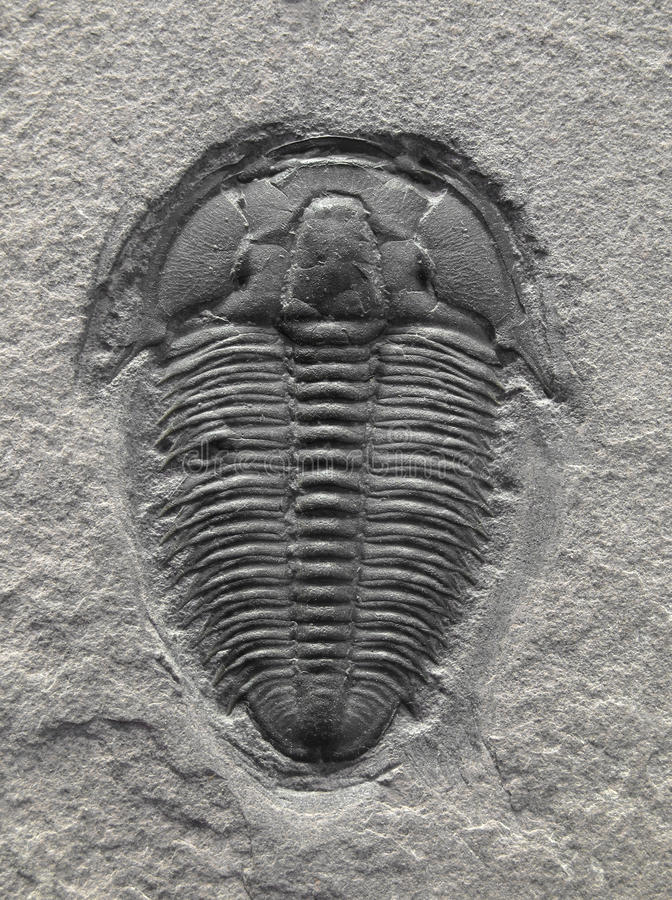 Fossilized trilobite. Trilobite fossil in sedimentary rock stock photo
