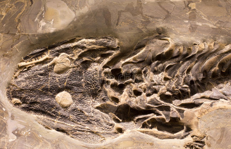Fossils of amphibian in rock. Close up of prehistoric extinct animals in stone. Fossils of extinct amphibian royalty free stock photos