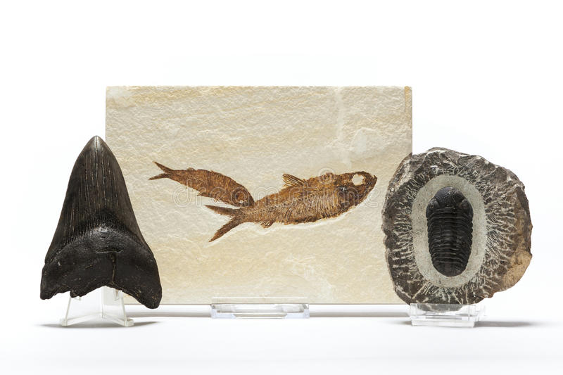 Fossils collection. Fish fossil, trilobites and megaladon tooth belonging to a fossils collection royalty free stock photos