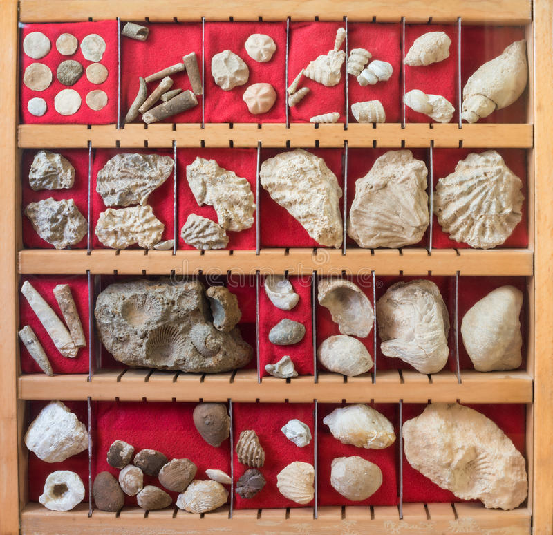 Fossils collection. Collection of miscellaneous fossils in a showcase stock photography