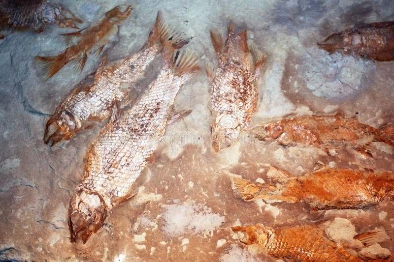 Fossils of fish from the natural history Museum in Cape town.  stock image