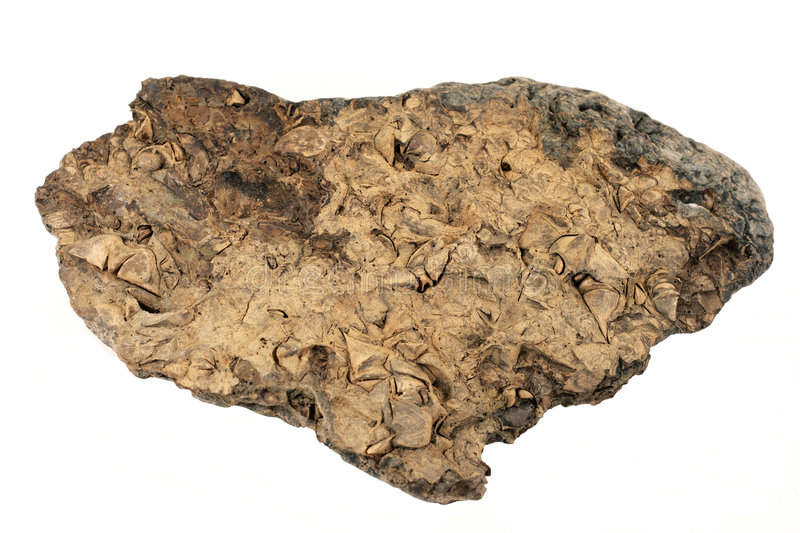 Fossils Galore In This Rock stock image