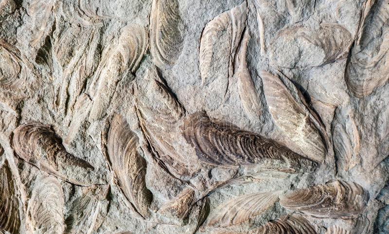 Fossils of seashells royalty free stock photography