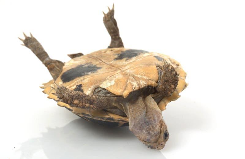 fosten sköldpaddan royaltyfri bild