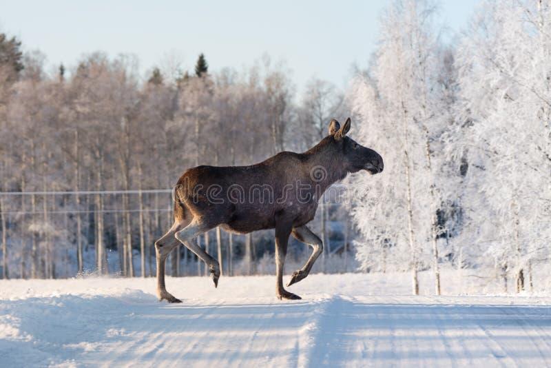 Fostra älgen som korsar en vinterväg i Sverige royaltyfria foton