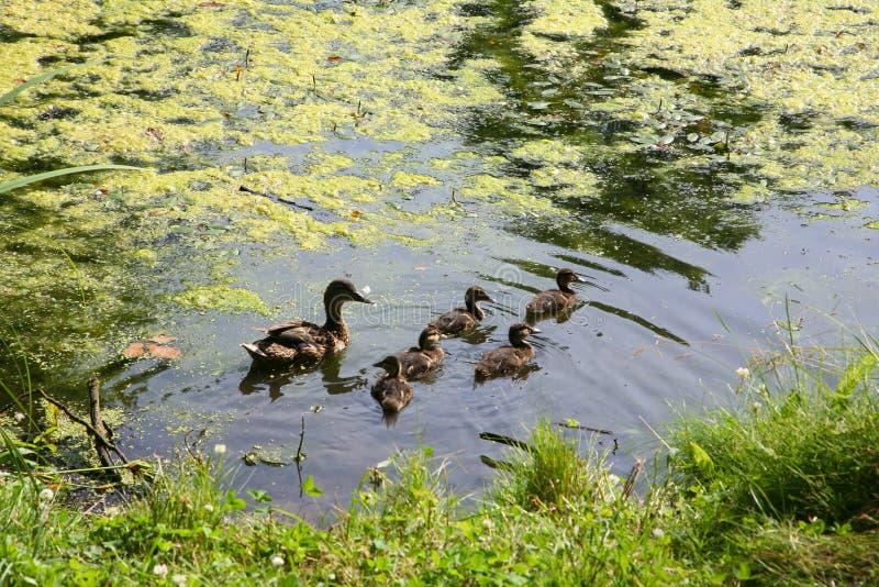 Fostra anden med små ankungar som simmar i ett damm på en solig sommardag royaltyfri foto