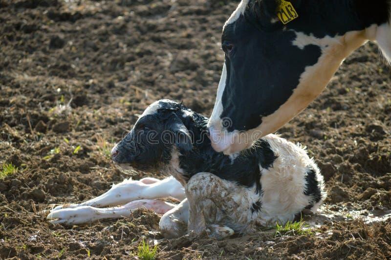 Fostra att ansa till hennes nyfödda kalv på en mejerilantgård arkivbild