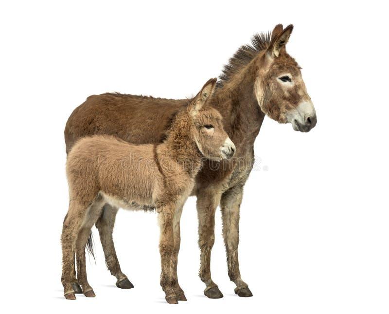 Fostra den provence åsnan och hennes föl som isoleras på vit royaltyfri foto