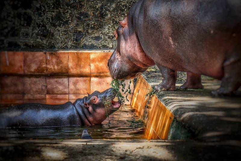 Fostra flodhästen som matar hennes son med förälskelse på en zoo arkivfoton