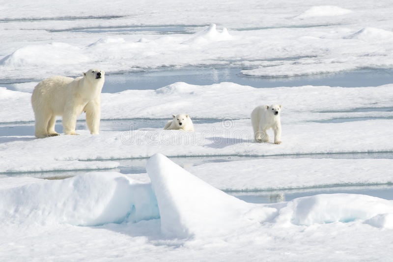 Fostra isbjörnen och två gröngölingar på havsis royaltyfri bild