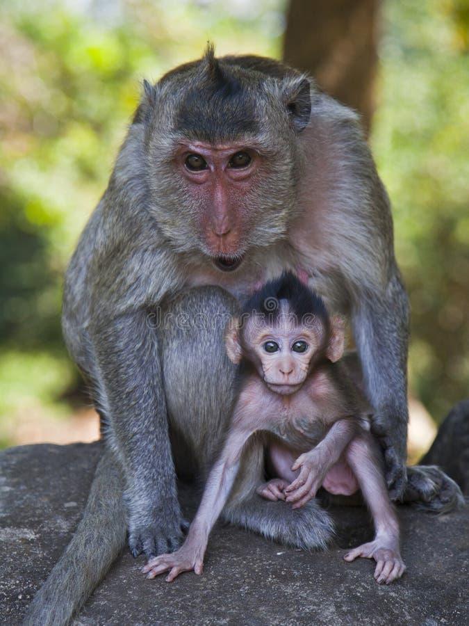 Fostra och behandla som ett barn den länge Tailed macaquen på Cambodja Angkor Wat royaltyfria foton