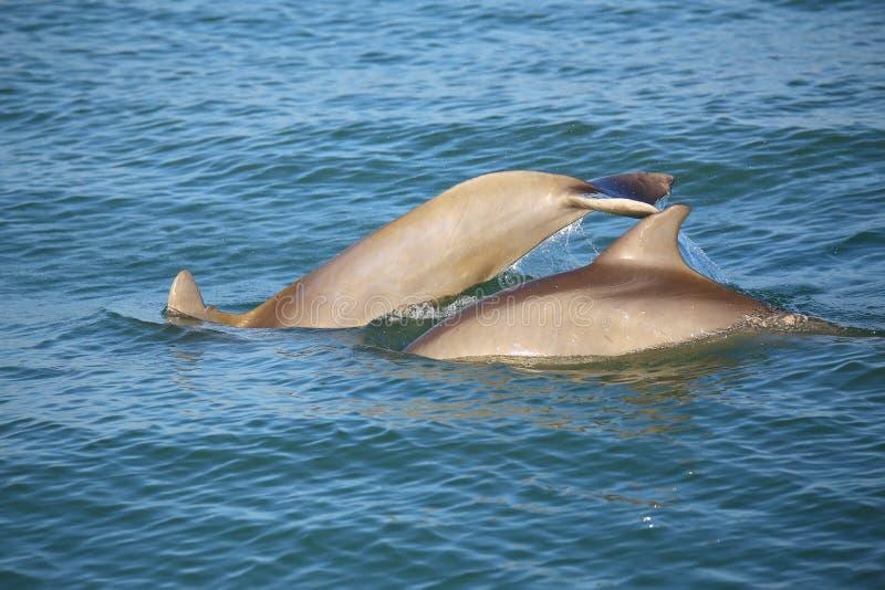 Fostra och behandla som ett barn gemensamt dyka för bottlenosedelfin royaltyfria foton