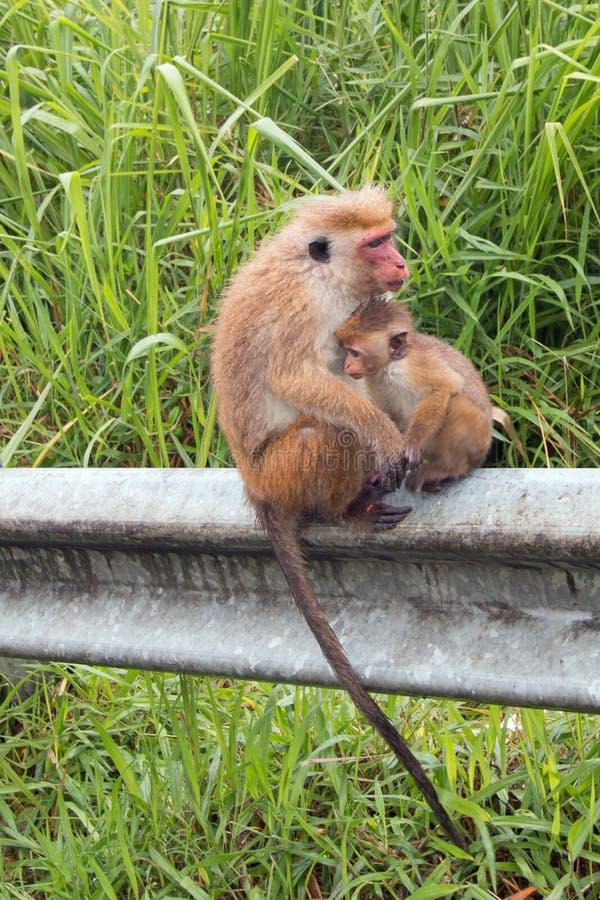 Fostra och behandla som ett barn ToqueMacaqueapor i upcountry Sri Lanka royaltyfri fotografi