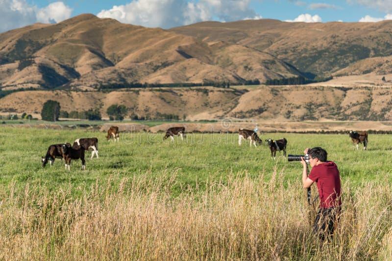 Fotógrafo de sexo masculino asiático joven que toma las fotos de vacas en la granja fotos de archivo libres de regalías