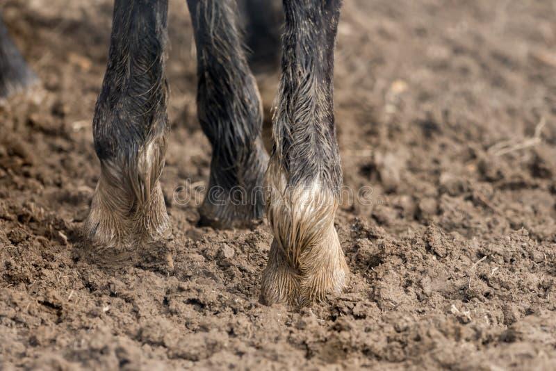 Fot av hästar som står i den våta smutsen arkivbild