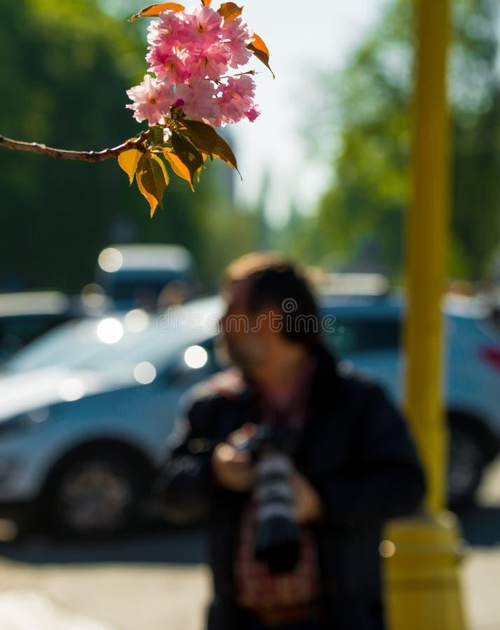 Fot?grafo que toma a imagem da cereja-?rvore japonesa cor-de-rosa no dia de mola ensolarado fotografia de stock