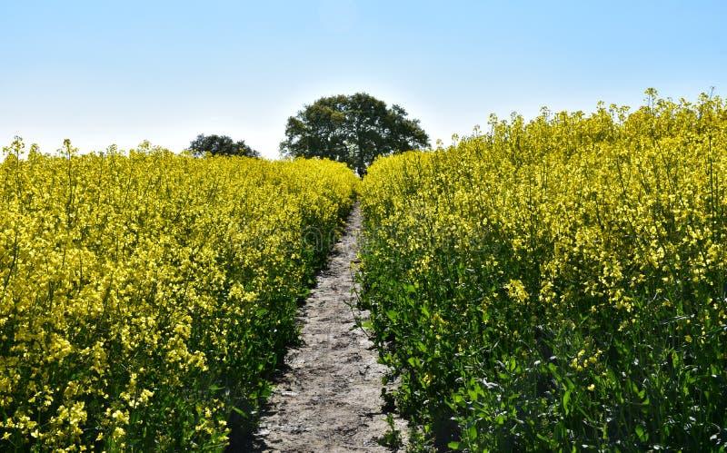 Fotbana genom blomning och blomning Yellow Rape Seed royaltyfri bild