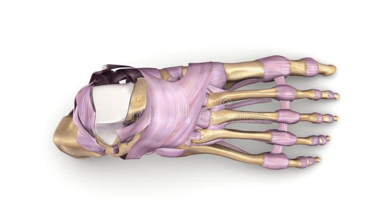 Fotben med bästa sikt för ligament vektor illustrationer