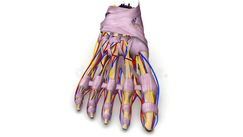 Fotben med föregående sikt för ligament, för blodkärl och för nerver stock illustrationer