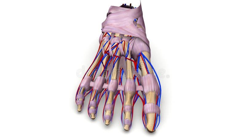Fotben med ligament och föregående sikt för blodkärl stock illustrationer