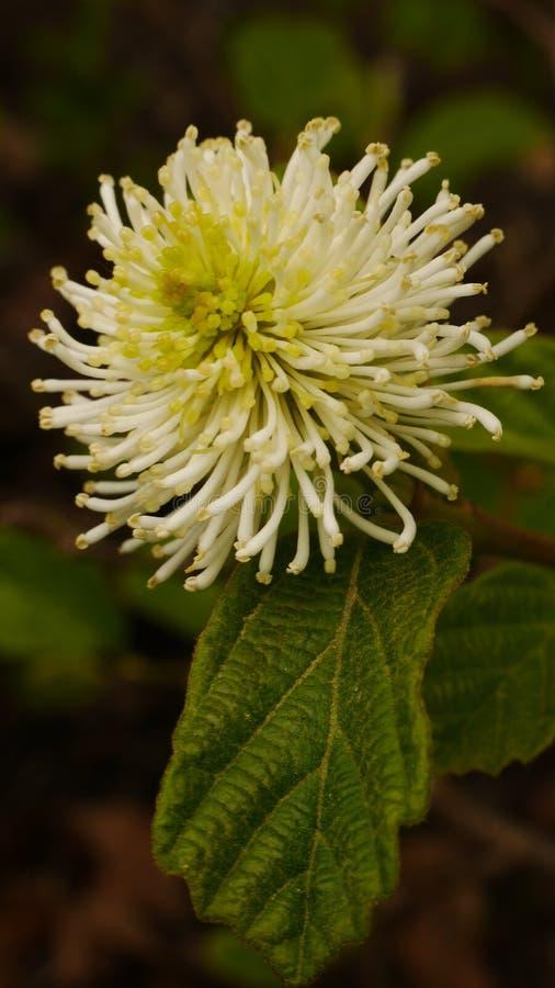 Fothergilla Major Blossom photographie stock libre de droits