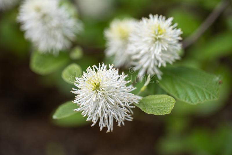 Fothergilla Major Mountain Witch Alder Flower lizenzfreie stockfotos