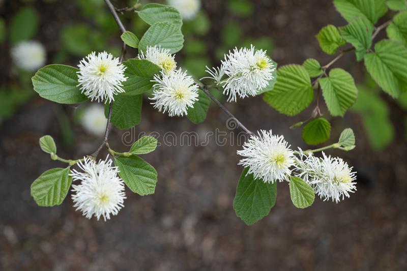 Fothergilla Major Mountain Witch Alder Flowers lizenzfreies stockbild