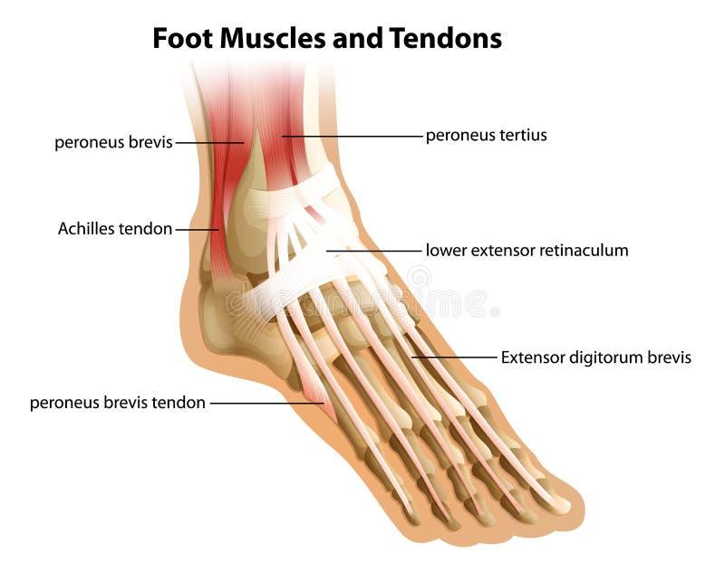 Fotmuskler och senor vektor illustrationer